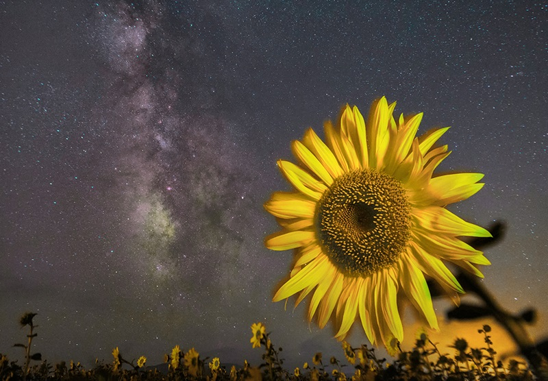 A sunflower and the Milky Way